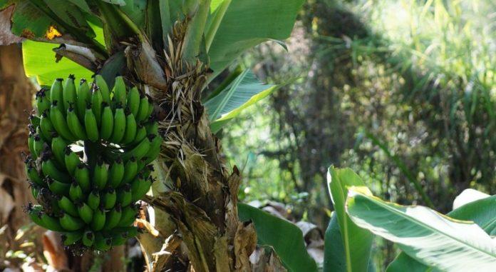 Plátano-producción